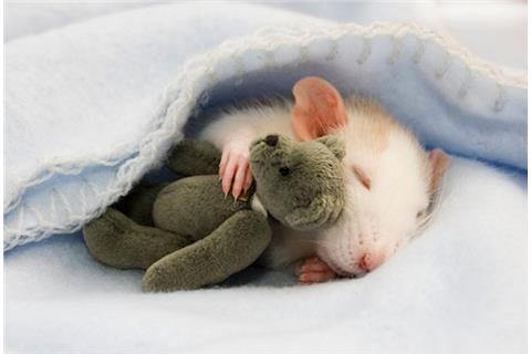 超萌!小老鼠拥泰迪熊玩偶入眠 娇羞惹人怜