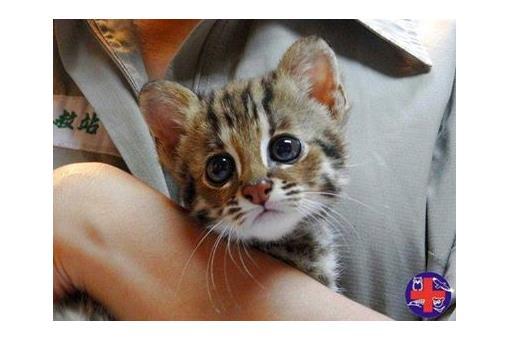 的猫科动物石虎