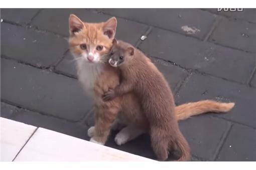 亲密相拥咬耳朵 黄鼠狼的好友竟然是猫咪