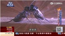 蟋蟀  翻攝食尚生活家