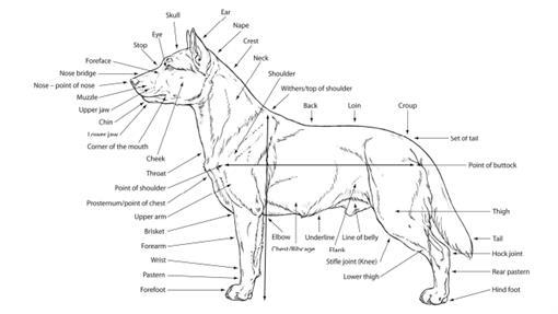 犬只结构手绘图