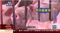吃海藻的豬!人道養殖口感超Q彈 豬肉更香甜可口