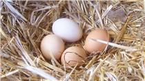 雞蛋/翻攝維基百科