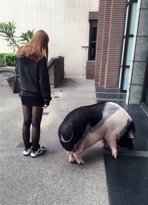 迷你豬(圖/翻攝自臉書爆廢公社)