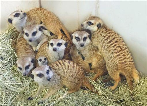 六福村『狐獴家族』