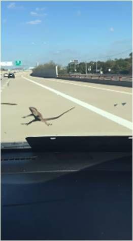 汽車,擋風玻璃,蜥蜴,冷血動物,爬蟲類,每日郵報 圖/翻攝自YouTube