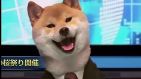 柴犬,主播,狗(圖/翻攝自Shiba Inu videos to the Intro of This Charming Man by The Smiths臉書)