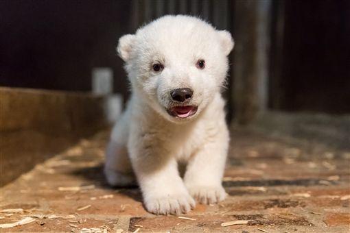 柏林動物園,德國,北極熊,寶寶,小熊(圖/翻攝自Tierpark Berlin粉絲專頁)