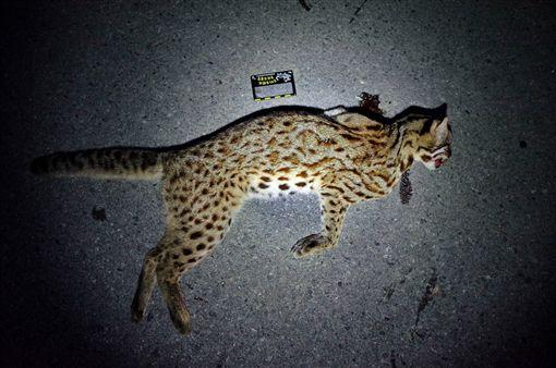 苗栗140線道一隻石虎遭到路殺。(圖/翻攝自貓徑地圖王小明臉書)