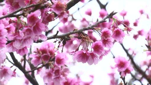 好天氣僅剩一天! 陽明山湧現賞櫻人潮