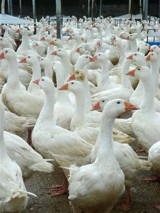 防範禽流感肆虐  禽場管理須加強/中央社