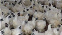 疑染禽流感H5N6 雲林私宰雞淪陷 禽流感入侵台灣東西部,H5N6病毒令人聞之色變,嘉義 縣私宰雞確定驗出後,雲林口湖一批私宰雞也淪陷,防 疫所已採樣送驗並移動管制。圖為雲林1處烏骨雞場的 烏骨雞。 (檔案照片) 中央社記者葉子綱攝 106年2月13日