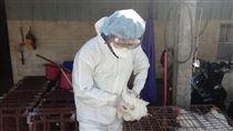 嘉義縣朴子烏骨雞3禽場及東石雞鴨鵝混養2禽場,分別感染H5N2及H5N6高病原性禽流感,共撲殺1564隻雞鴨鵝,禽場半徑1公里內移動管制31場,持續採樣送驗。(嘉義縣政府提供)