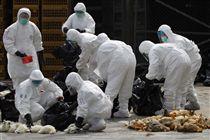 H7N9,禽流感,病毒,WHO,世界衛生組織 圖/美聯社/達志影像