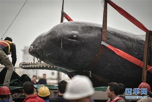 擱淺死亡的抹香鯨 圖翻攝《新華網》