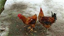 別怕禽流感 養雞協會教烹煮(1) 禽流感疫情讓民眾對雞、鴨、鵝等食材有疑慮,但其實 只要購買經合格檢驗的土畜產品,並以正確方式烹煮, 民眾絕對能夠安心食用。 (蘇永勝提供) 中央社記者魯鋼駿傳真 106年3月16日