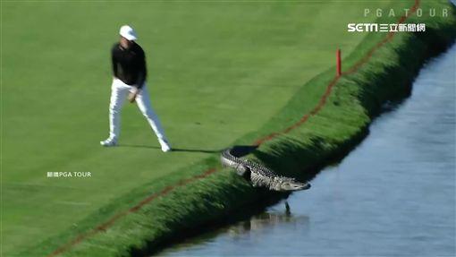 高球場,高爾夫球,揮桿,鱷魚,球員,爆紅