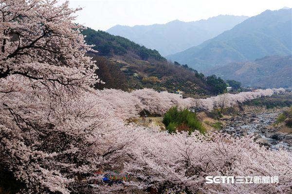 韓國旅遊,櫻花,賞櫻,十里櫻花路,櫻花節。(圖/韓國觀光公社提供)