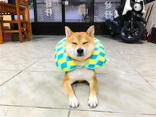 影/忍者柴犬習得新技能 「食物消失術」快到沒殘影。資料來源:柴犬Seven風城少年