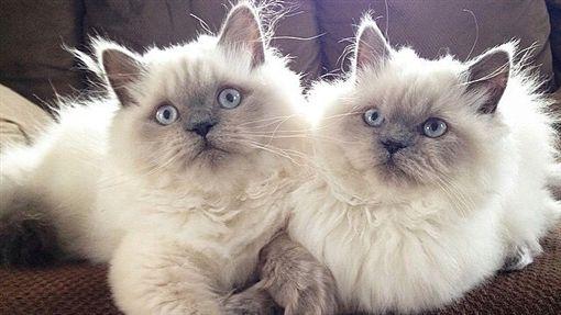貓,喵,萌,寵物,毛孩,愛上毛們(圖片來源:ig@bonnienclydekitties)
