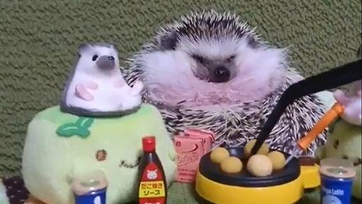 刺蝟,寵物,毛孩,萌,愛上毛們(圖片來源:ig@reborn0117)