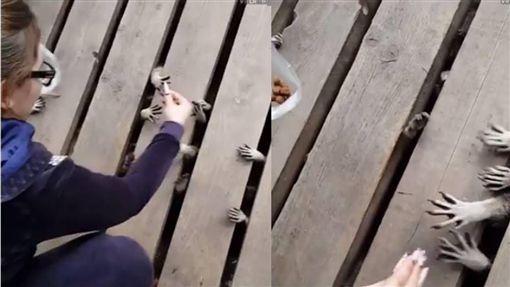 浣熊,木橋,殭屍,喪屍 圖/翻攝自UNILAD