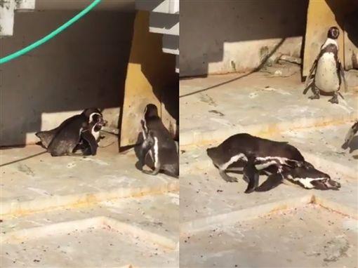 企鵝老公目擊老婆與小王偷情,爆氣攻擊小王。(圖/翻攝自推特)