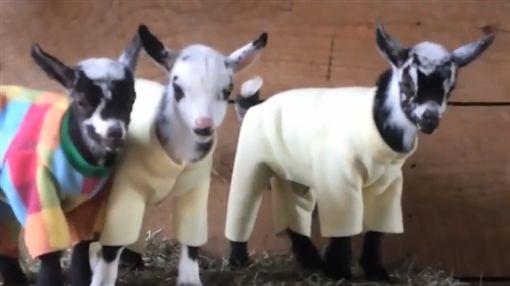 羊,寵物,毛孩,萌,愛上毛們(圖片來源:臉書@Go Animals)