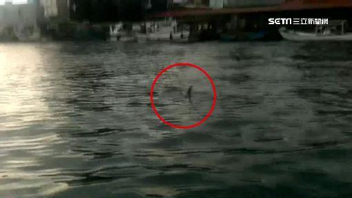 鯊魚現身漁港? 海豚背鰭受傷引關注