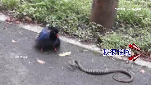 台灣藍鵲戰臭青母 婦人圍觀嚇壞尖叫
