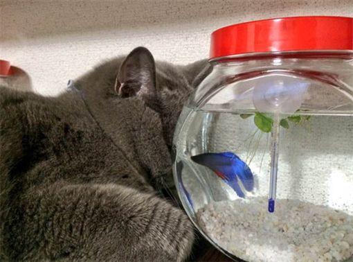 貓咪,魚缸,鬥魚,睡覺。(圖/翻攝自@kyoumetan Twitter)