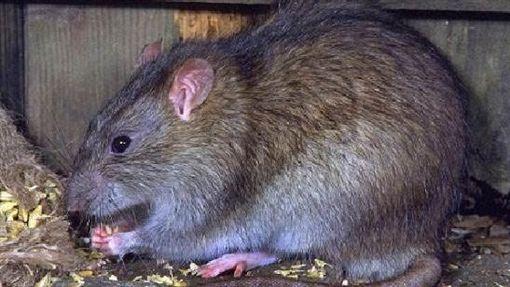 老鼠/百度