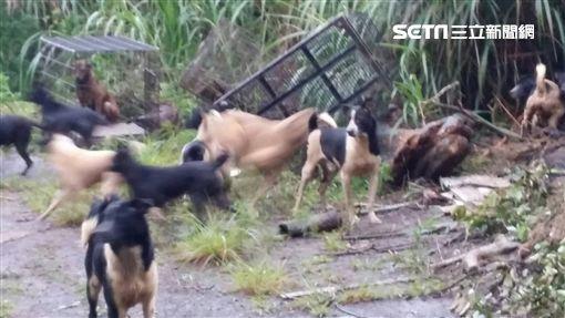 大量犬隻四處遊蕩。(圖/翻攝畫面)