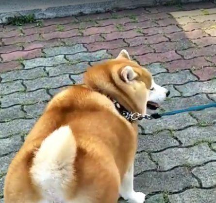 阿嬤養的狗? 柴犬被主人養成胖柯基