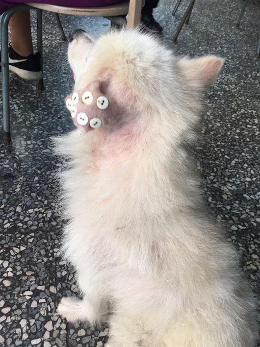 狗狗,虐待,鈕扣,耳朵,耳血腫,虐狗,治療(爆料公社 ) ID-937101