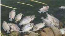 農委會在13日公布,台灣成為全球第6個吳郭魚感染湖泊病毒國家,不過,農委會也強調,沒有食品安全問題。(桃園市動保處)