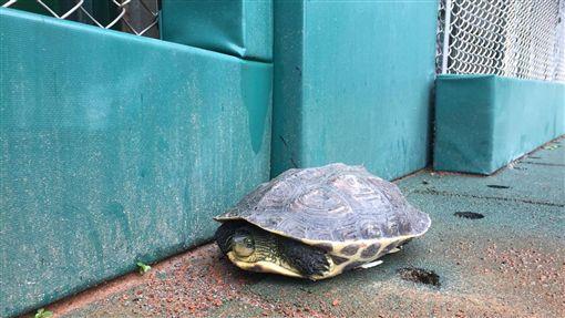 新莊棒球場場邊出現烏龜。(圖/富邦工作人員提供)