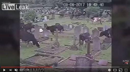 英國400頭牛闖墓園(圖/翻攝自AlphaVideo YouTube)https://www.youtube.com/watch?v=5GqDHqqFN4Y