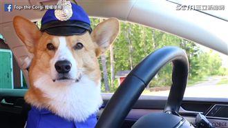 Topi柯基扮警察。