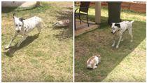 「貓狗大戰」不稀奇 兔子狂追大麥町