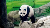 貓熊圓仔4歲了(圖/台北市動物園提供/中央社)