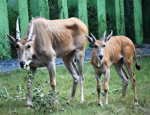 伊蘭羚家族。翻攝Shou Shan Zoo 壽山動物園