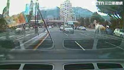 台北市北投區大業路赫見1匹白馬逆向奔馳(翻攝畫面)