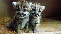 -美洲獅-圖/台北市立動物園