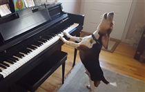 狗狗,汪星人,才華狗,音樂,天賦,彈琴,唱歌,表演(圖/翻攝自Youtube,Buddy Mercury)