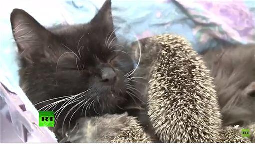 貓,喵星人,喵媽咪,刺刺,刺蝟,哺乳,母乳,母愛圖/翻攝自RT UK YouTube