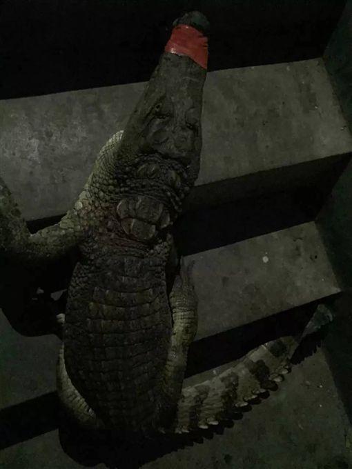大陸,貴州,樓梯間,鱷魚,玩具,壁虎,手電筒,鄰居,尼羅鱷,寵物(圖/翻攝自封面新聞)