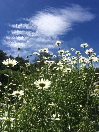 玉山北峰遍地開滿外來種法國菊。(圖/玉管處提供)