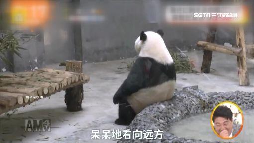 """獨/熱到""""思考人生"""" 陸貓熊可愛模樣暴紅"""