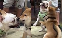 法鬥向柴犬示好反被咬。(圖/翻攝自copper.frenchie Instagram)